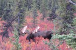 Nothing like a bull Moose in the fall